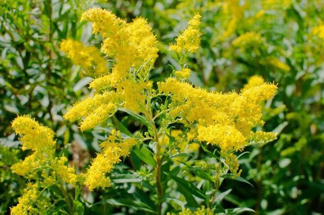 goldenrod planting