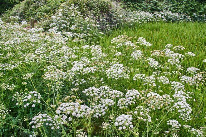 hemlock garden care