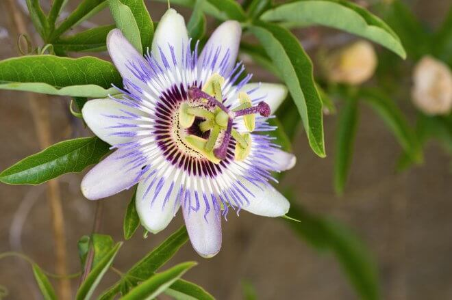 Passion Flower garden care