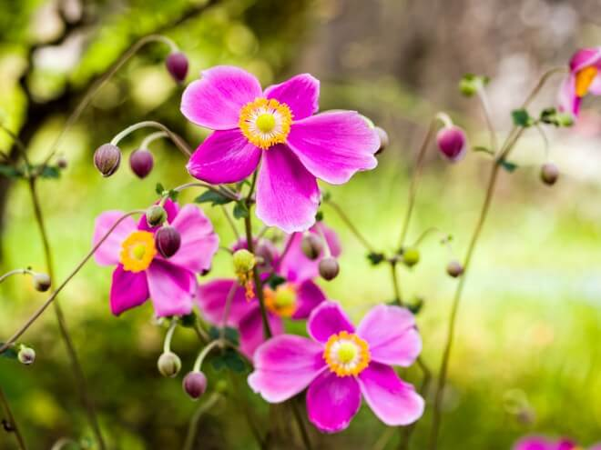 growing Japanese anemones