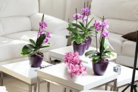 The Guide to Growing Phalaenopsis Orchids